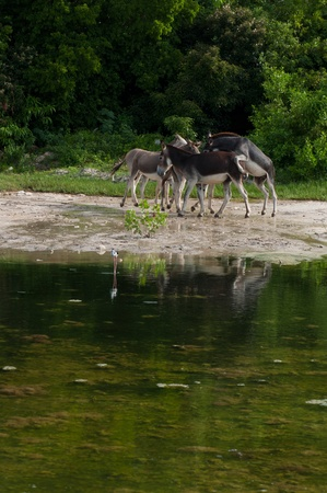jack ass: beautiful donkeys next to a lake in a wildlife landscape at the countryside, Antigua (Caribbean)