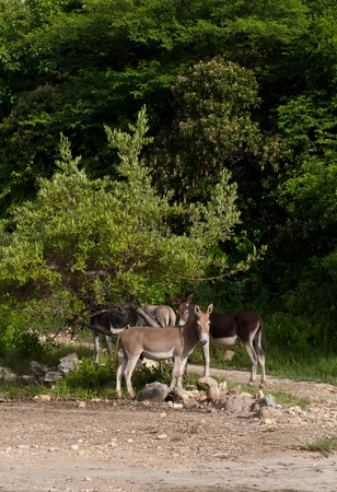 jack ass: beautiful donkeys in a wildlife landscape at the countryside, Antigua (Caribbean) Stock Photo