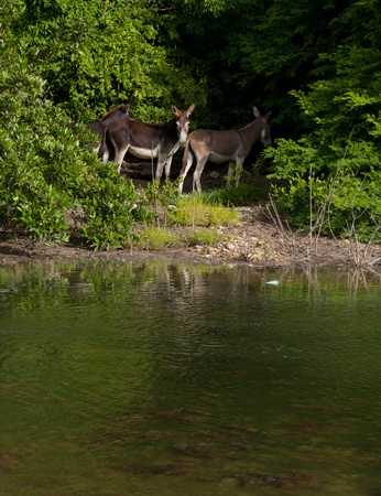 wild donkey: beautiful donkeys next to a lake in a wildlife landscape at the countryside, Antigua (Caribbean)