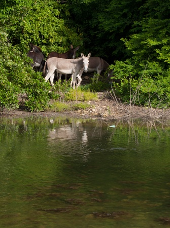 beautiful donkeys next to a lake in a wildlife landscape at the countryside, Antigua (Caribbean) photo