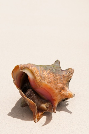 gorgeous seashell with a snail inside at a sandy beach in the Carribean (plenty copy-space) photo