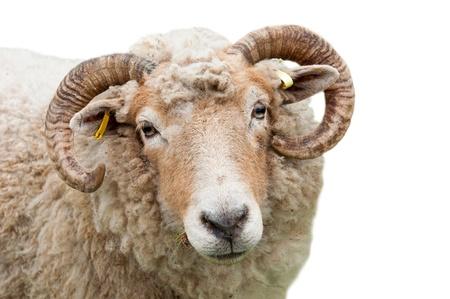 carnero: expresi�n dulce de una oveja con cuernos aislados en fondo blanco