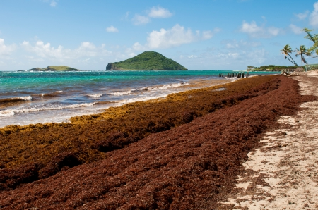 st lucia: deserted beach at Vieux Fort, Saint Lucia (algaes and seaweeds at the coast due to hurricane season) Stock Photo
