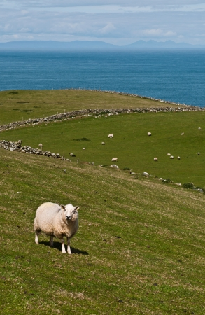 lovely sheep at the countryside in Northern Ireland  United Kingdom  photo