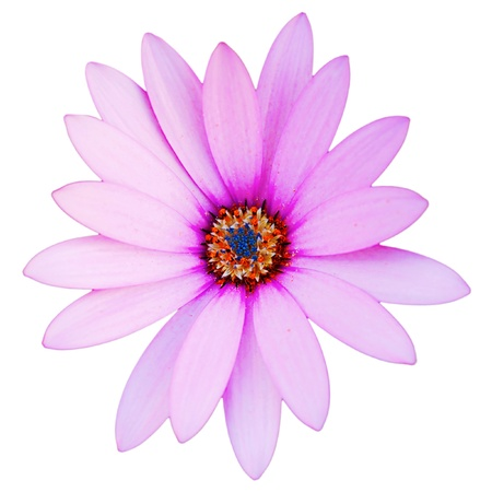 gorgeous violet daisy flower isolated on white background photo