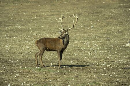 Red deer (Cervus elaphus) male. Red deer in the zoo