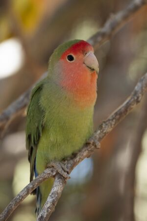 Portrait of a rosy-faced lovebird (Agapornis roseicollis). Specimen of a zoo perched on a branch
