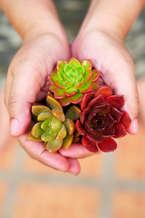christmas cactus: Top view cute colorful flora succulent plant in woman hands Stock Photo