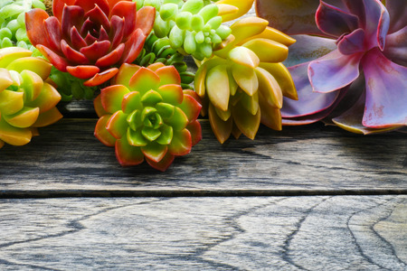 Close up cute colorful succulent plant flora with copy space for text on wooden table background. Stock Photo