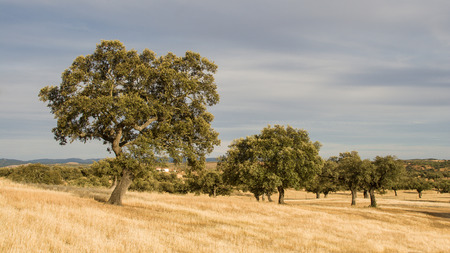 portugal agriculture: Corktree landscape in south Portugal