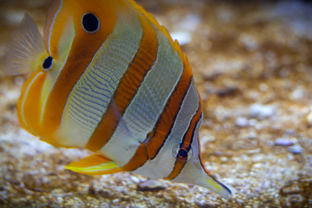 Butterflyfish, underwater wildlife, coral, reef Stock Photo - 119925157