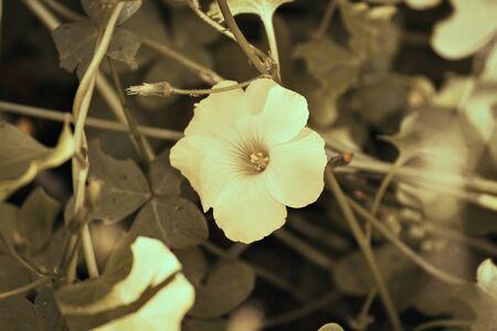 yellow sourgrass meadow, Oxalis pes-caprae Reklamní fotografie