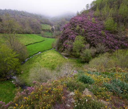 Purple heather in full bloom over the green valleys and deciduous forests of the Courel mountain range