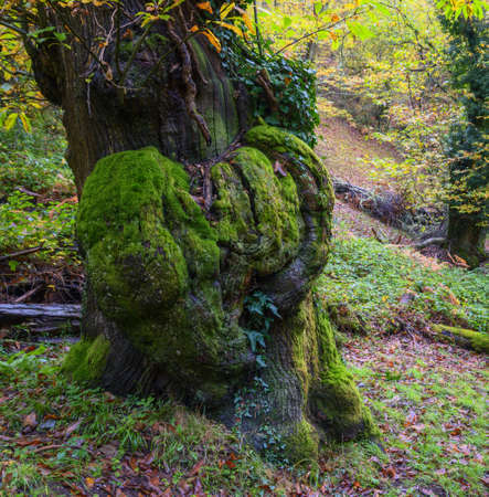 Heart shaped roughness in the mossy trunk of an aged chestnut tree in Courel Mountain Range in Galicia