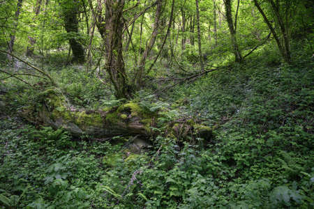 An old fallen oak slowly disappears engulfed by moss and undergrowth on the floor of a messy forest in As Nogais Galicia