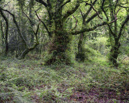 Haunting forest scene full of undergrowth and old twisted trees in Seivame Lugo Galicia