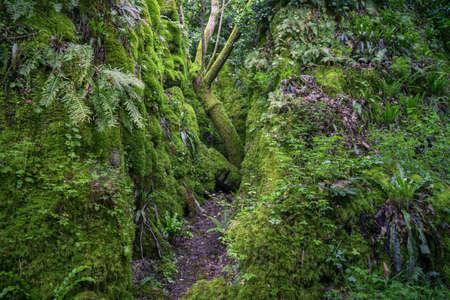 Old twisted trees hidden among mossy limestone cliffs in Os Grobos Becerrea Galicia