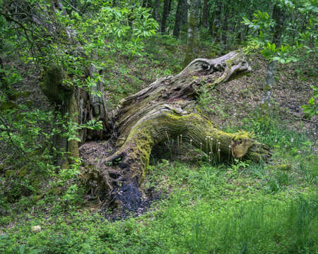 Huge chestnut tree struck down by lightning lies in a forest clearing in Os Grobos Becerrea Galicia