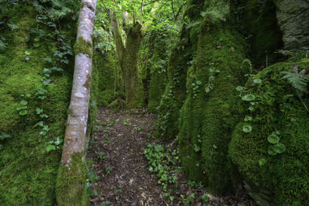 Limestone rock corridor covered with moss and ferns with an old oak tree in the background in Os Grobos Becerrea Galicia Banco de Imagens
