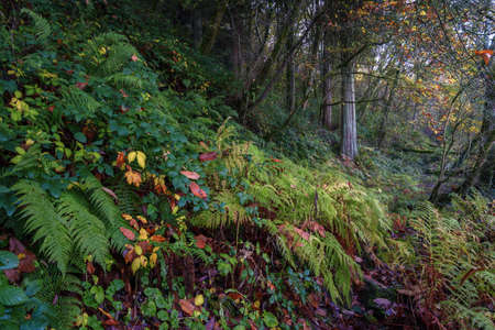 Path hidden by brambles and ferns enters a humid autumn forest Lugo Galicia