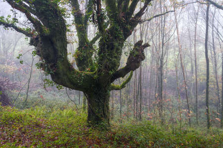 An old oak with huge branches in the mist of a humid forest in autumn in Lugo Galicia