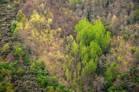 A patch of heart shaped trees of two species in different leaf sprouting stage in spring in Cervantes Galicia Banco de Imagens