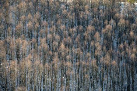 Birch forest in winter with snowy ground in Triacastela Courel Galicia