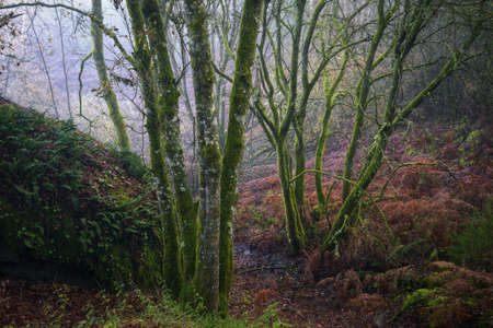 Glowing wet moss covers oak trunks in a forest in winter in Lugo Galicia