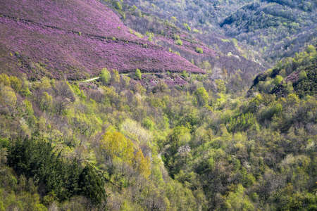 The spring flowering of purple heather over the deciduous forests in Courel Galicia Banco de Imagens