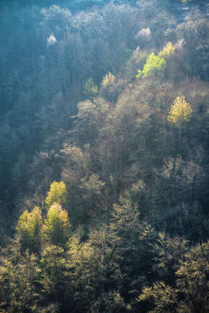 Delicate light of a spring morning skims the treetops in a forest in Ancares Cervantes Galicia