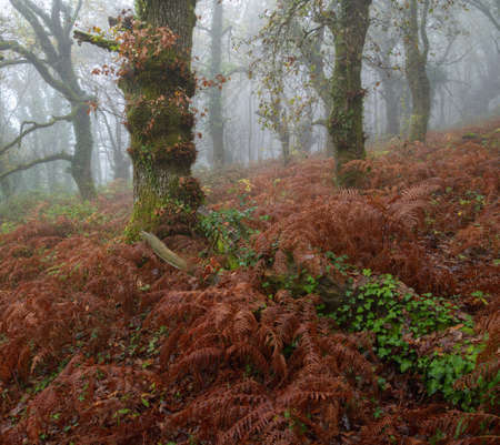 Autumnal fog in an oak forest with reddish ferns and ivy covered trunks in Lugo Galicia Banco de Imagens