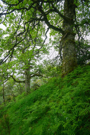 Huge and aged birch trees among ferns on a mountainside in Ancares Cervantes in Galicia
