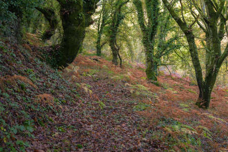 Autumnal shades in the leaves of the trees and in the ferns in a forest in Lugo in Galicia