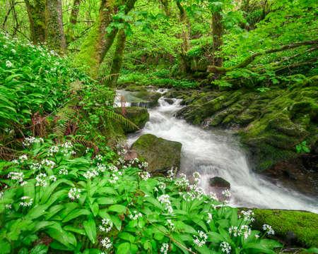Stream between limestone rock and flowered wild garlic in Courel Mountain Range Geopark in Galicia