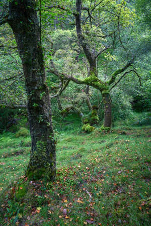 Gnarled mossy oaks in a forest amongst the mist in the Serra do Xistral Abadin Lugo Galicia Banco de Imagens