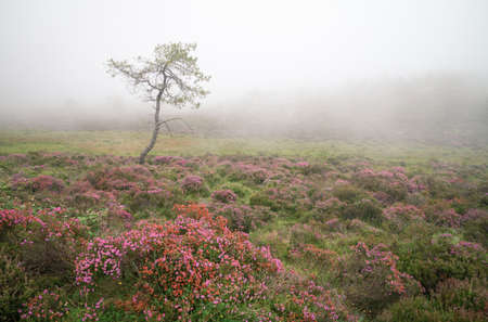 A pine surrounded by flowering heath in the mist in the Serra do Xistral Abadin Lugo Galicia