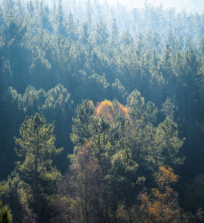 The light shines on the edges of the pine leaves in Ombreiro Lugo Galicia
