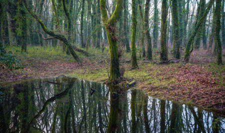 Mossy oak trunks are reflected in a pond in the middle of a forest in Lugo in Galicia