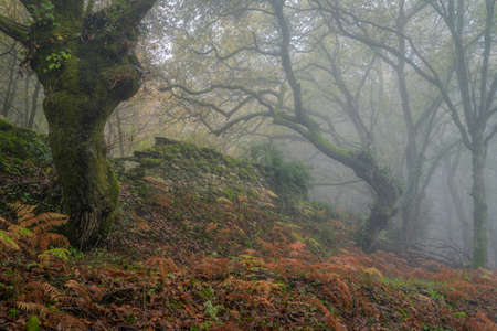 Mysterious atmosphere in a misty forest in winter with an old stone wall in Lugo Galicia