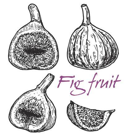 Figs. Hand drawn vector illustration, vintage style. Ilustração