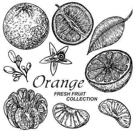 Set of illustrations with Orange in engraving style Ilustração