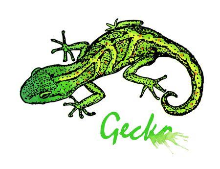 Gecko. Vector illustration isolated on white background Ilustração