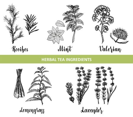 Botanical collection of hand drawn herbal tea ingredients sketch