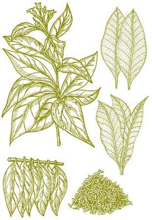 Insieme di abbozzo di tabacco. Pianta con fiori, foglie fresche e secche.