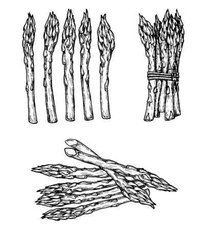 Hand drawn sketch style set of asparagus. Isolated Vegetable engraved style objec