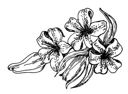 Floral blooming lilies. Flower Lily pencil sketch in vintage style. Иллюстрация