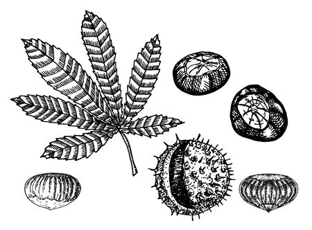 Chestnut set of vector sketches on white background. Chestnut leaf and nuts drawing set