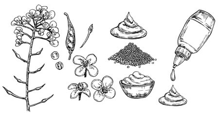 Mustard sauce in bowl vector drawing. Hand drawn food ingredient