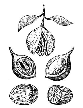 Muskatnuss-Gewürz-Vektor-Skizze. Gewürznuss gemahlen. Getrocknete Samen und frische Muskatblüten