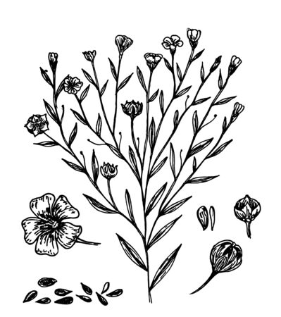 Collection of flax plant seeds and flowers. Botanical Illustration